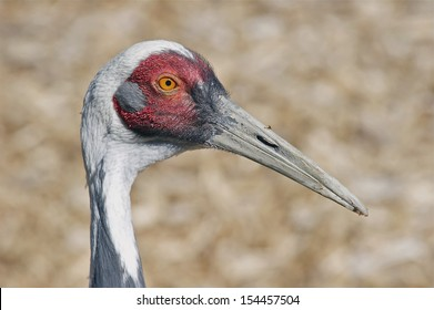 Profile of a Sandhill Crane