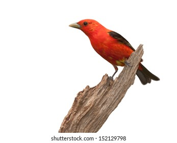 A profile of a scarlet tanager perched on a piece of driftwood. The tanager'??s brilliant red plumage contrasted against its midnight black wings, make this one startling songbird. White background.