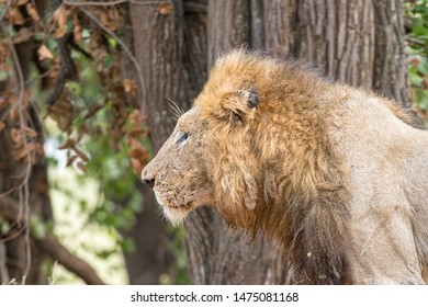 Profile of a scarred male lion, Panthera leo, with a mane