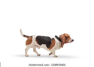 Profile shot of a basset hound dog on a leash isolated on white background