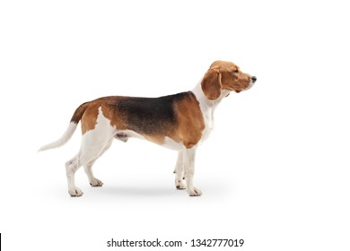 Profile shot of a beagle dog standing isolated on white background