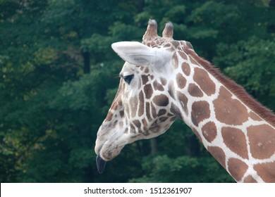 A profile shot of a giraffe against a dark green background.