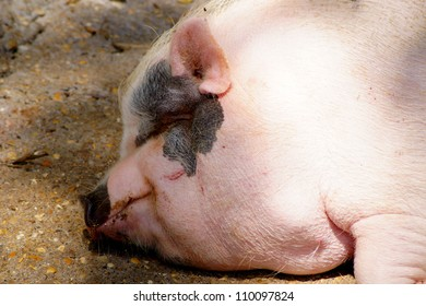 Profile of snout white fat sow