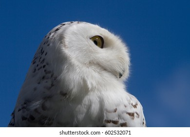 The profile of a Snowy Owl
