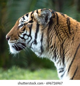 Profile of the Tiger