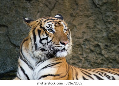 Profile of a tiger staring forward