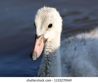 Profile of a trumpeter cygnet.