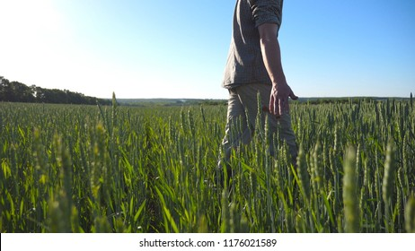 Profile of unrecognizable young farmer walking through the cereal field and touching green wheat ears on summer day. Concept of agriculture business. Blue sky at background. Low angle view Close up.
