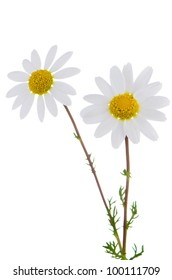 Profile view of  beautiful daisy flowers isolated on white background.