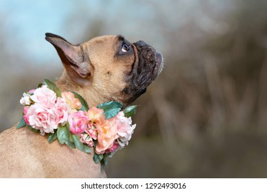 Profile view of a beautiful female fawn French Bulldog dog with a collar made of roses and other flowers around her neck