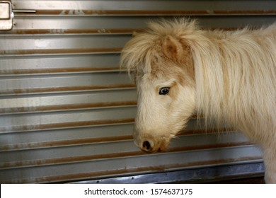 Profile view of a blue-eyed palomino horse inside a barn
