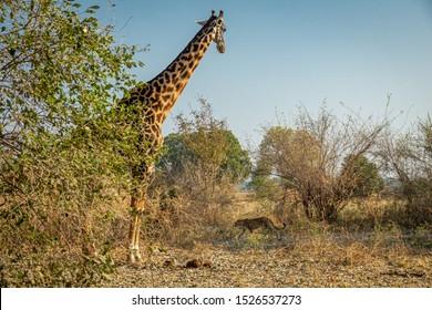 Profile view of distrustful giraffe looking to walking leopard in the wild