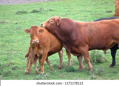 Profile view of an English bred South Devon beef and dairy Bull courting a cow in the pasture.