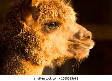 Profile view of the face and head of an alpaca, light brown glowing in the sunshine.