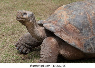 Profile view of a giant Tortoise / Tortoise / A giant Galapagos turtle