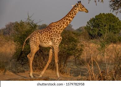 Profile view of giraffe walking in the wild