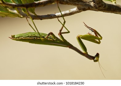 Profile view of a green Mediterranean mantis or Iris mantis (Iris oratoria) hanging upside down from a twig with leafs against an homogeneous natural yellow background.