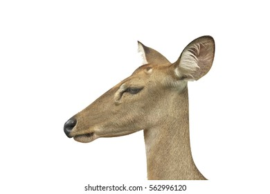 Profile view of head of Brow-antlered deer isolated on white