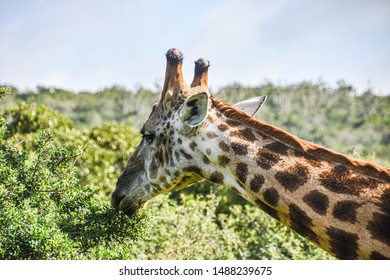 profile view of hear and neck of giraffe eating