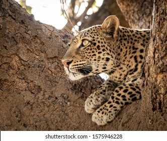 Profile view of Leopard over the tree watching for preys