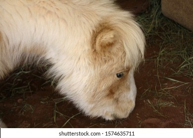Profile view of a palomino miniature horse eating hay off the floor of a barn