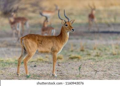 Profile view of a puku antelope (Kobus vardonii), South Luangwa, Zambia, Africa