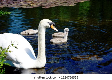 A profile view of a swan on a lake with three cygnets