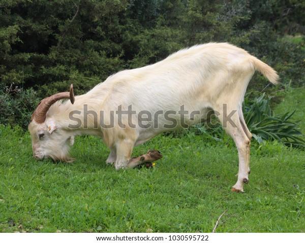 Image result for goat bending