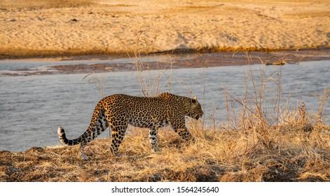 Profile view of wild leopard walking near river