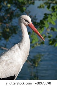 Profile of a white stork