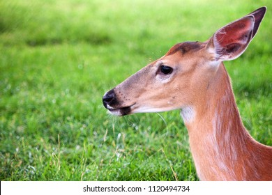Profile of a white tailed deer.