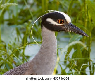 Profile of a Yellow-crowned Night-Heron in East Texas