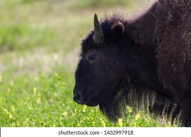 The profile of a young bison in the afternoon sunshine and prairie wildflowers at Custer State Park, South Dakota.