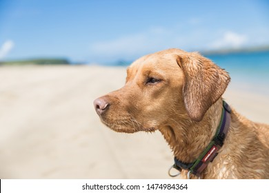 A profile of a young fox red Labrador retriever dog on a sandy beach with the ocean behind in a pet health and vitality image whilst on summer vacation with copy space