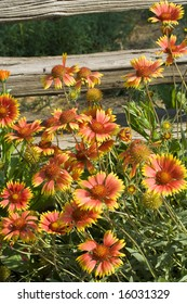 A profusion of Gaillardia (Blanket flowers) cluster in front of an old weathered fence.