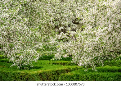 Profusion of white blossoms on branches of Japanese flowering crabapples (binomial name: Malus floribunda) above green garden hedges, for themes of spring, abundance, beauty