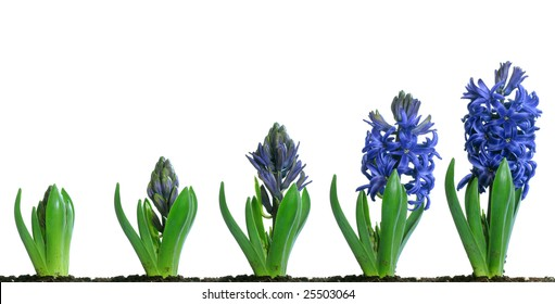 Progressive images of a blue hyacinth flower growing and blooming