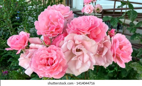 Prolific cluster of gorgeous, tender pink roses on the top of a rose shrub. Sumptuous, delicate, pink roses on a shrub growing in the street. Exquisite pink shrub roses on the background of a building