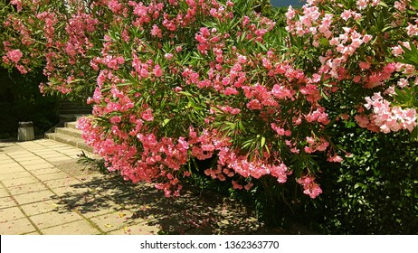 Prolific large Pink Oleander shrub in a botanical garden on a sunny day. Mounded, sumptuous Nerium Oleander shrub produces loads of fragrant pink flowers contrasting with green leaves. Luxuriant shrub