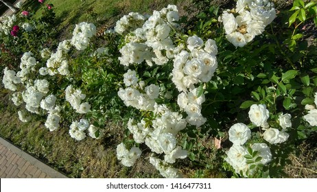 Prolific white rose shrub growing in a flowerbed. Cluster of white roses aggregated in clusters on a shrub in the sunshine. Abundance of delicate, white roses contrasting with green foliage of a shrub