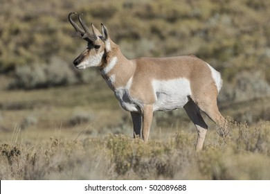 Pronghorn - Adult male during the fall rut season