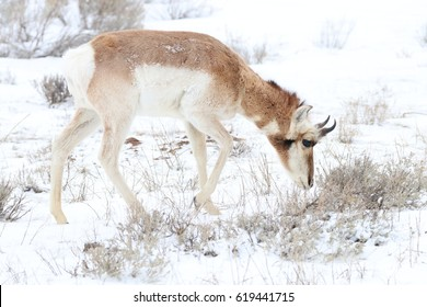Pronghorn (American antelope) browsing through sagebrush.