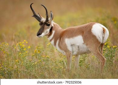 A pronghorn antelope