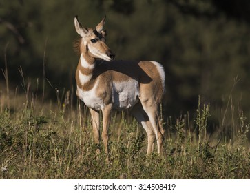 Pronghorn antelope (Antilocapra americana)  - Custer County, Black Hills, South Dakota