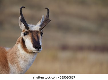 Pronghorn Antelope, Antilocapra americana, the fastest mammal in North America close up portrait of a horned buck antelope
