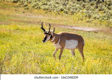 Pronghorn Antelope (Antilocapra americana) in Yellowstone National Park, Wyoming, USA