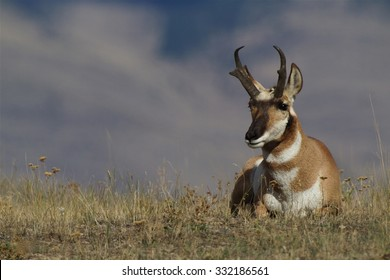 Pronghorn Antelope bedded, resting on prairie grassland habitat. Antilocapra americana, the fastest mammal in North America