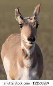 Pronghorn Antelope in early morning sun in Wapiti Wyoming
