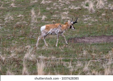 Pronghorn Antelope foraging for food in the green grasses of spring