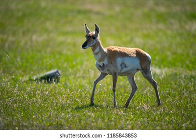 pronghorn antelope in Grand Teton NP